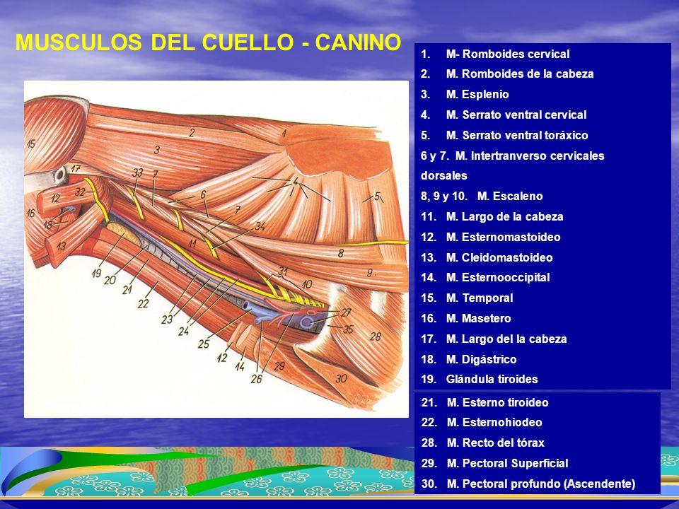 1.M- Romboides cervical 2.M. Romboides de la cabeza 3.M. Esplenio 4.M. Serrato ventral cervical 5.M. Serrato ventral toráxico 6 y 7. M. Intertranverso