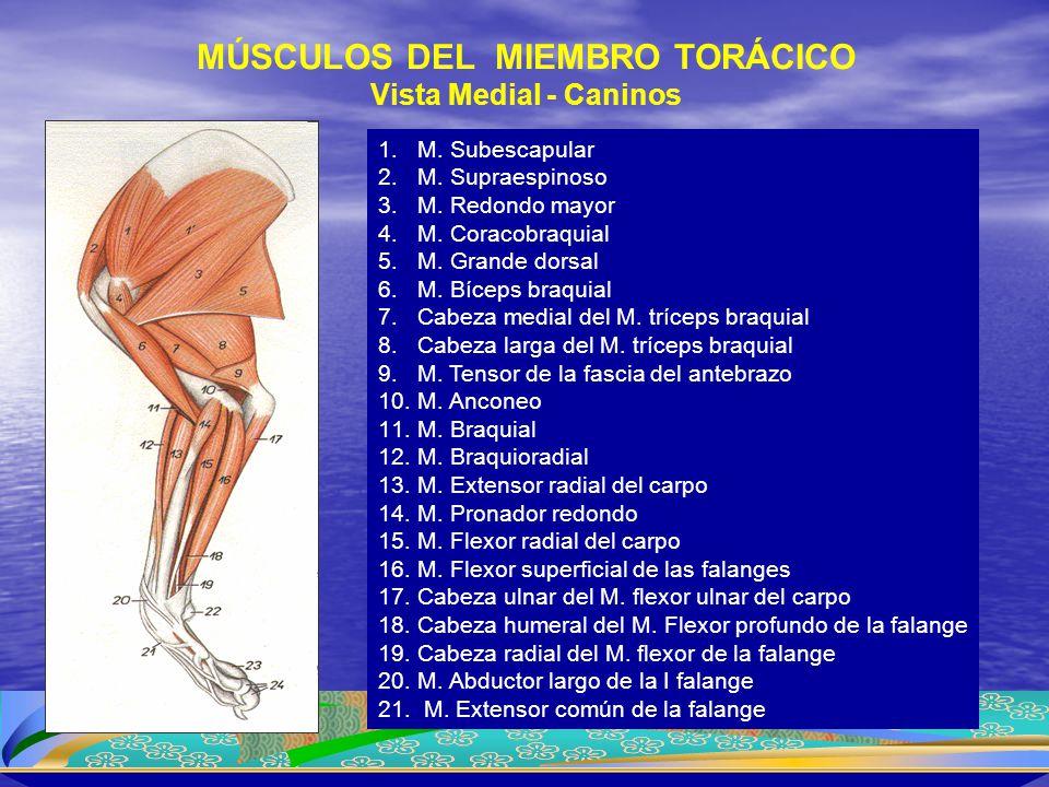 1.M. Subescapular 2.M. Supraespinoso 3.M. Redondo mayor 4.M. Coracobraquial 5.M. Grande dorsal 6.M. Bíceps braquial 7.Cabeza medial del M. tríceps bra