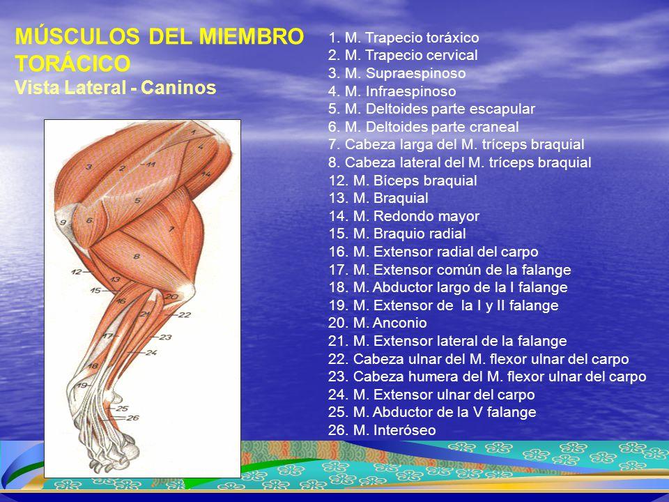 1. M. Trapecio toráxico 2. M. Trapecio cervical 3. M. Supraespinoso 4. M. Infraespinoso 5. M. Deltoides parte escapular 6. M. Deltoides parte craneal