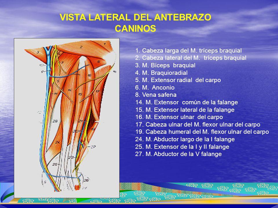 1.Cabeza larga del M. tríceps braquial 2. Cabeza lateral del M.