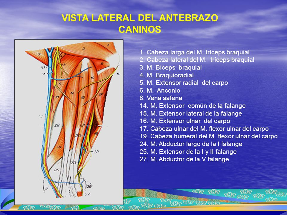 1. Cabeza larga del M. tríceps braquial 2. Cabeza lateral del M. tríceps braquial 3. M. Bíceps braquial 4. M. Braquioradial 5. M. Extensor radial del