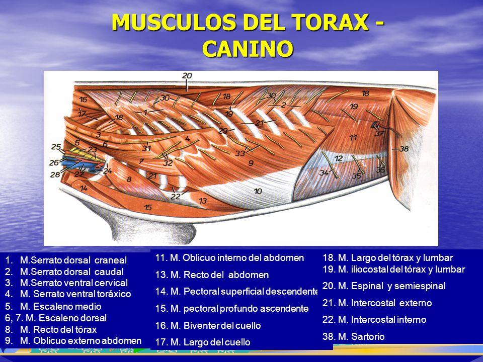 MUSCULOS DEL TORAX - CANINO 1.M.Serrato dorsal craneal 2.M.Serrato dorsal caudal 3.M.Serrato ventral cervical 4.M. Serrato ventral toráxico 5.M. Escal