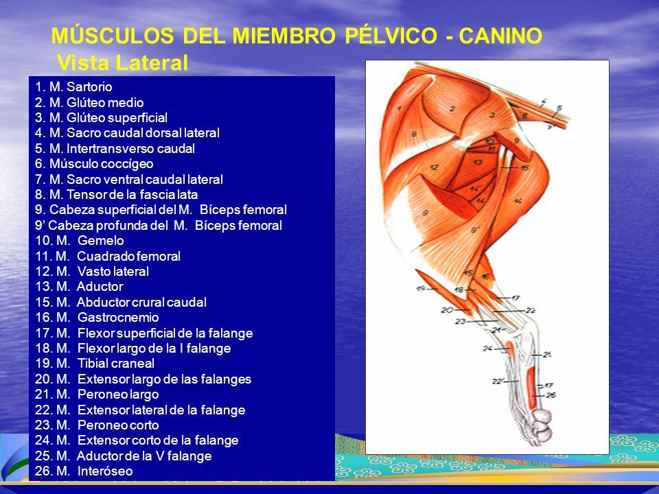 1. M. Sartorio 2. M. Glúteo medio 3. M. Glúteo superficial 4. M. Sacro caudal dorsal lateral 5. M. Intertransverso caudal 6. Músculo coccígeo 7. M. Sa