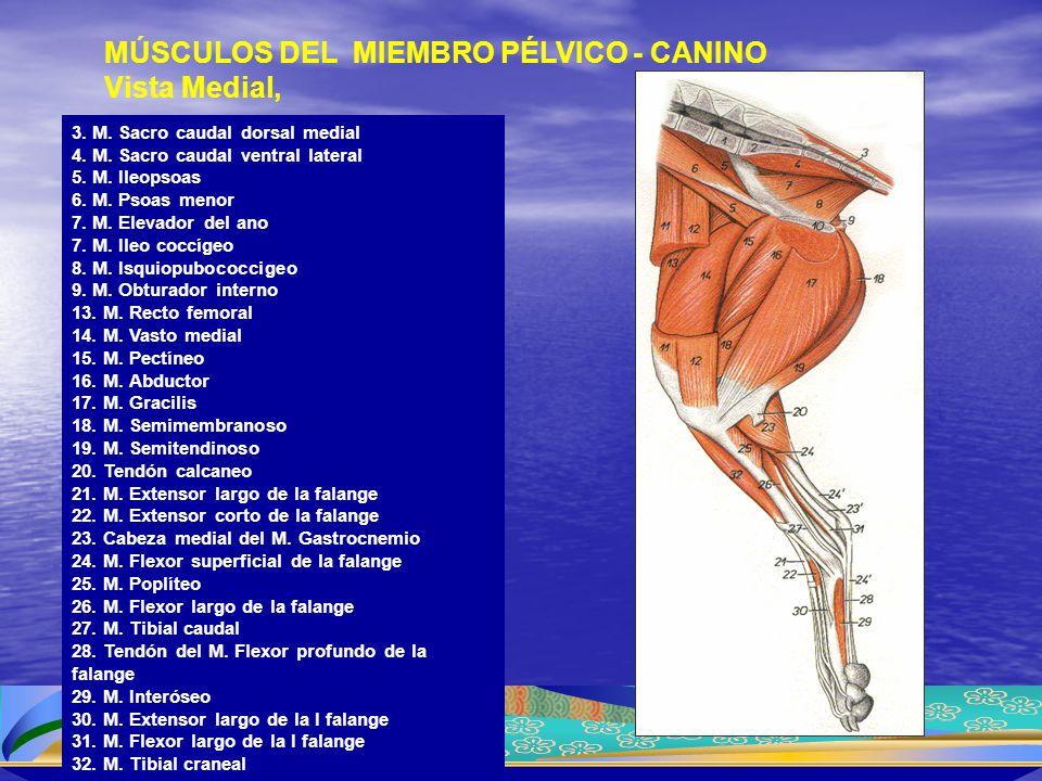 3. M. Sacro caudal dorsal medial 4. M. Sacro caudal ventral lateral 5. M. Ileopsoas 6. M. Psoas menor 7. M. Elevador del ano 7. M. Ileo coccígeo 8. M.