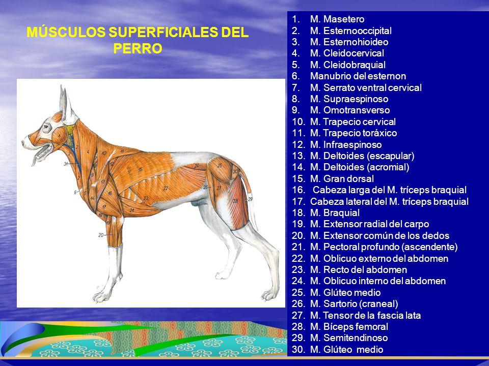 1.M. Masetero 2.M. Esternooccipital 3.M. Esternohioideo 4.M. Cleidocervical 5.M. Cleidobraquial 6.Manubrio del esternon 7.M. Serrato ventral cervical