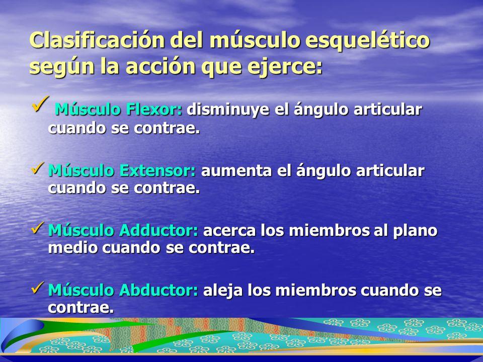 Clasificación del músculo esquelético según la acción que ejerce: Músculo Flexor: disminuye el ángulo articular cuando se contrae. Músculo Flexor: dis