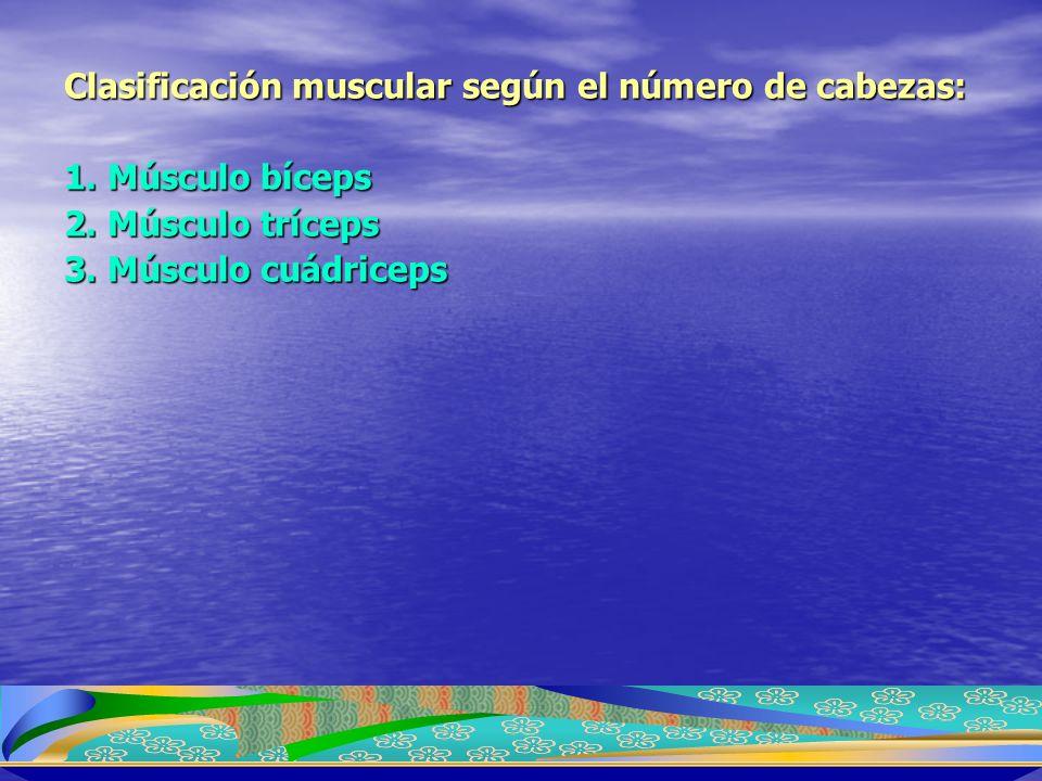 Clasificación muscular según el número de cabezas: 1. Músculo bíceps 2. Músculo tríceps 3. Músculo cuádriceps