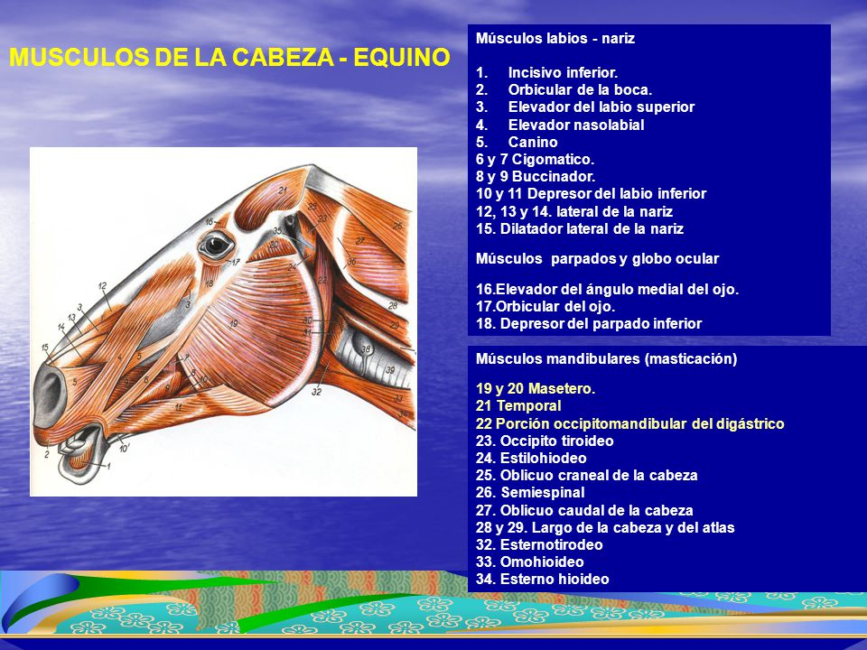 1.Braquiocefálico 2.Estrenocefálico 3.Trapecio cervical 4.Trapecio toráxico 5.Esplenio 6.Serrato ventral cervical 7.Subclavio 8.Supraespinoso 9.Deltoides 10.Esternohioideo y Estrenotirohioideo 11.Gran dorsal 12.Cabeza larga del tríceps braquial 13.Cabeza lateral del tríceps braquial 14.Pectoral descendente 15.Braquial 16.Pectoral transverso 17.Extensor radial del carpo 18.Extensor digital común 19.Extensor digital lateral 20.Romboide cervical 21.Vena yugular 22.