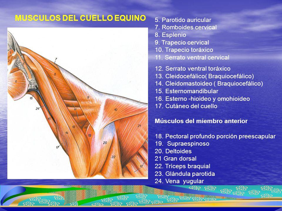 MUSCULOS DEL CUELLO EQUINO 5. Parotido auricular 7. Romboides cervical 8. Esplenio 9. Trapecio cervical 10. Trapecio toráxico 11. Serrato ventral cerv