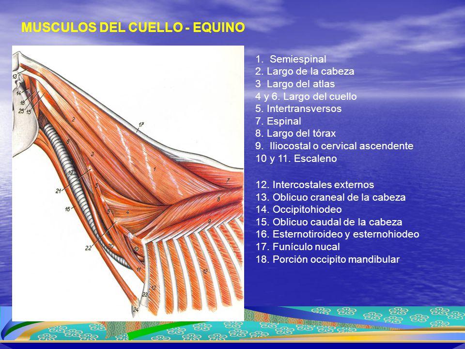 Segunda capa MUSCULOS DEL CUELLO - EQUINO 1. Semiespinal 2. Largo de la cabeza 3 Largo del atlas 4 y 6. Largo del cuello 5. Intertransversos 7. Espina
