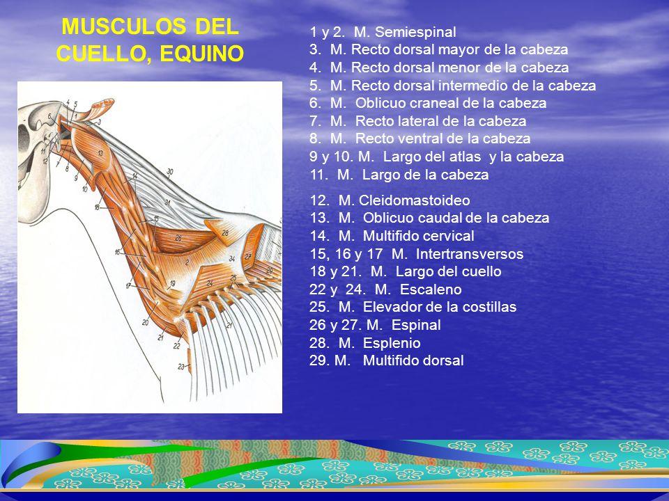 1 y 2. M. Semiespinal 3. M. Recto dorsal mayor de la cabeza 4. M. Recto dorsal menor de la cabeza 5. M. Recto dorsal intermedio de la cabeza 6. M. Obl