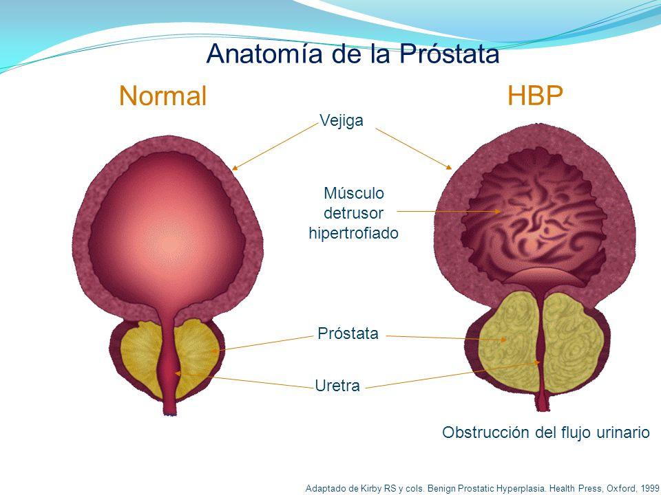 Famoso Lóbulos De La Próstata Anatomía Ornamento - Anatomía de Las ...