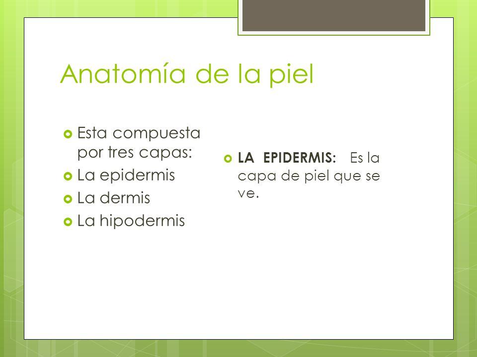  Esta compuesta por tres capas:  La epidermis  La dermis  La hipodermis  LA EPIDERMIS: Es la capa de piel que se ve.