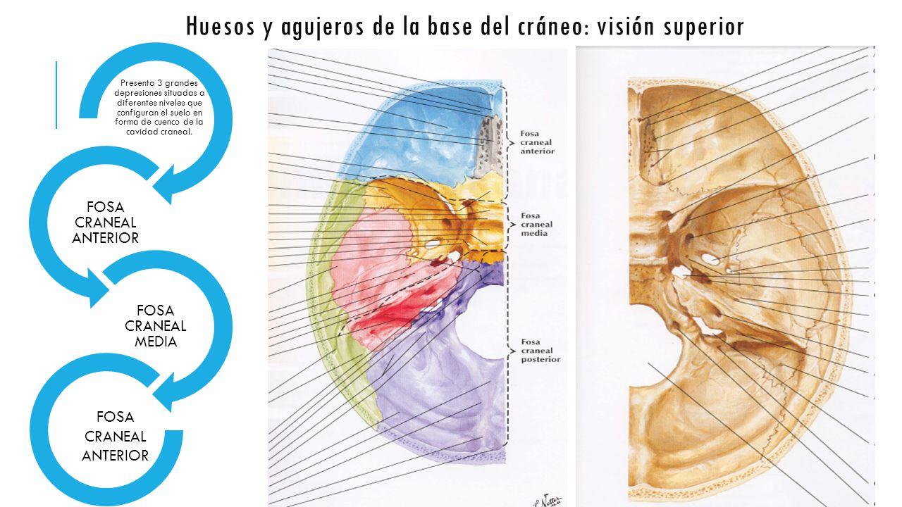 UNIDAD 1: Huesos de cráneo y cara - Anatomía de Sistema Nervioso y ...