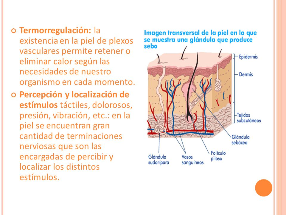 Termorregulación: la existencia en la piel de plexos vasculares permite retener o eliminar calor según las necesidades de nuestro organismo en cada momento.