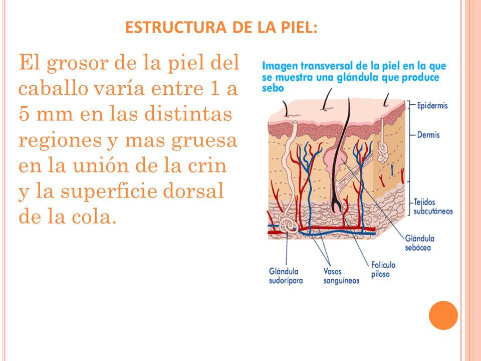 ESTRUCTURA DE LA PIEL: El grosor de la piel del caballo varía entre 1 a 5 mm en las distintas regiones y mas gruesa en la unión de la crin y la superficie dorsal de la cola.