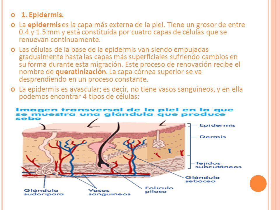 1.Epidermis. La epidermis es la capa más externa de la piel.