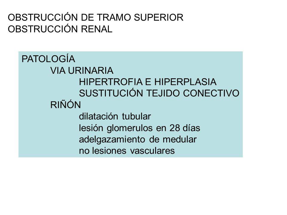 OBSTRUCCIÓN DE TRAMO SUPERIOR OBSTRUCCIÓN RENAL PATOLOGÍA VIA URINARIA HIPERTROFIA E HIPERPLASIA SUSTITUCIÓN TEJIDO CONECTIVO RIÑÓN dilatación tubular lesión glomerulos en 28 días adelgazamiento de medular no lesiones vasculares