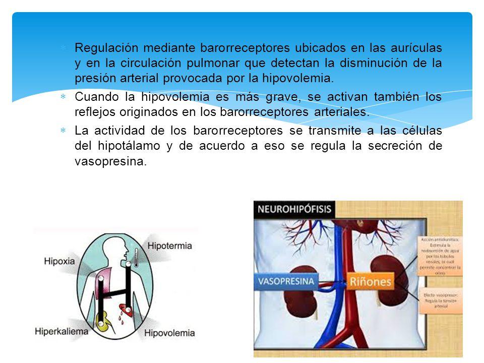  Regulación mediante barorreceptores ubicados en las aurículas y en la circulación pulmonar que detectan la disminución de la presión arterial provocada por la hipovolemia.