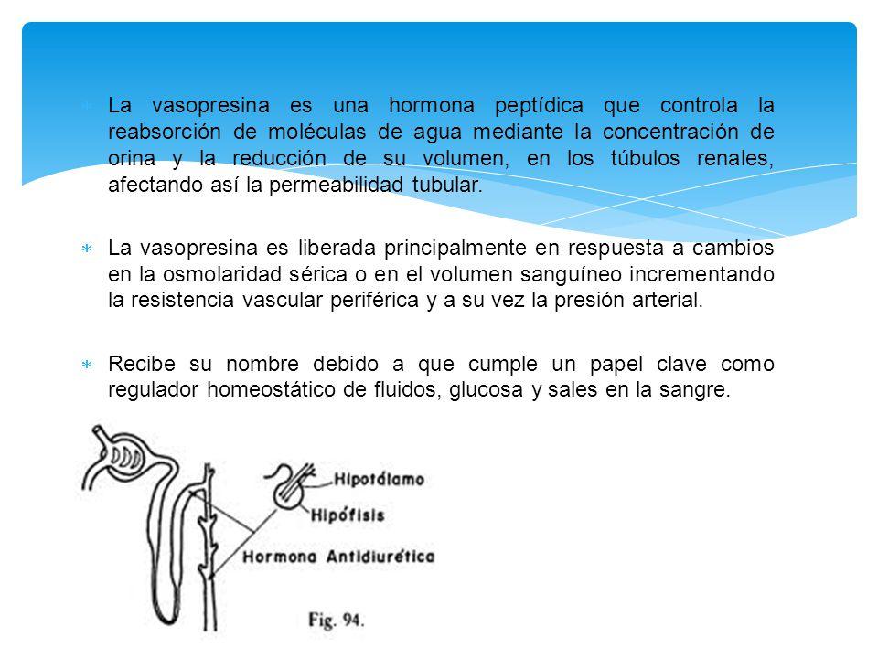  La vasopresina es una hormona peptídica que controla la reabsorción de moléculas de agua mediante la concentración de orina y la reducción de su volumen, en los túbulos renales, afectando así la permeabilidad tubular.