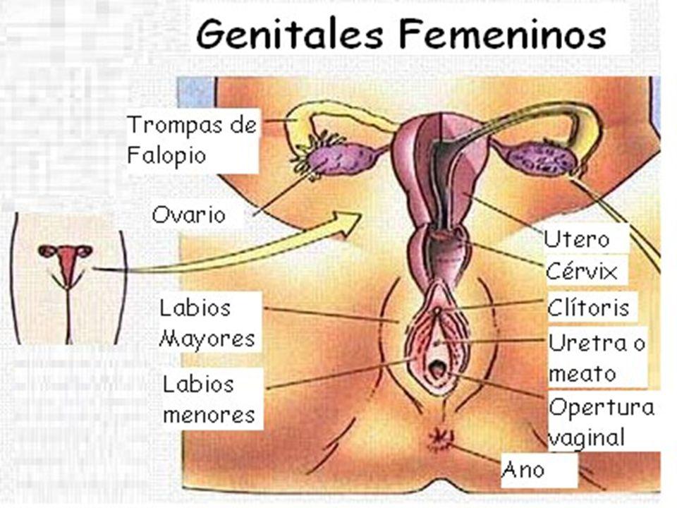 Famoso Partes Reproductores Femeninos Bandera - Imágenes de Anatomía ...
