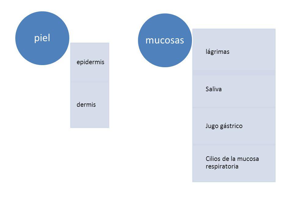 epidermis dermis piel lágrimas Saliva Jugo gástrico Cilios de la mucosa respiratoria mucosas