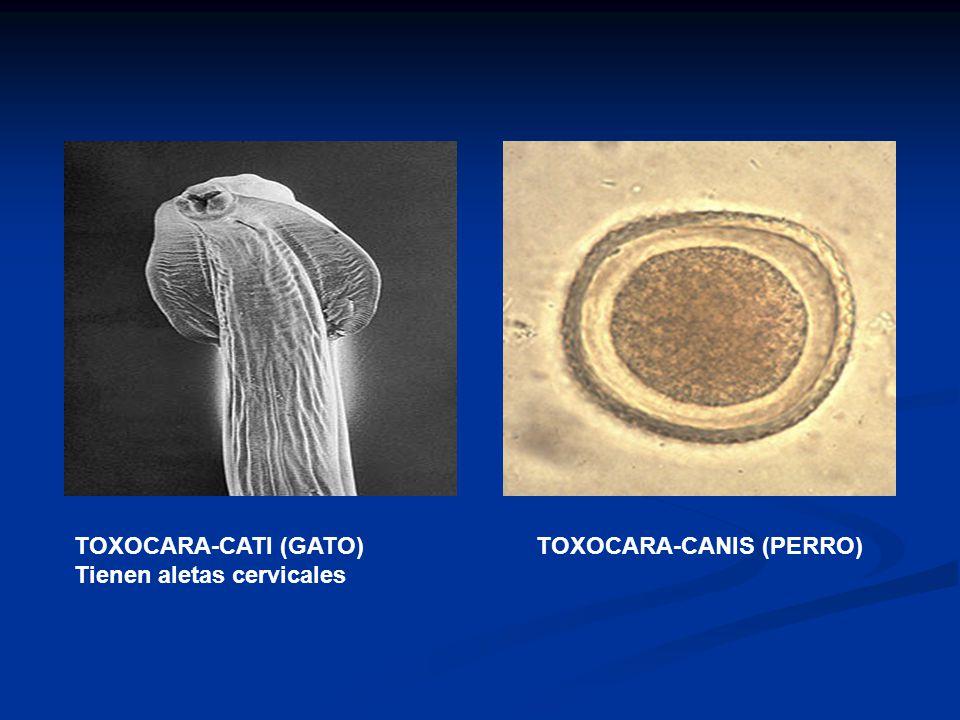 Resultado de imagen de Toxocara Canis y Toxocara Cati - Parásitos internos caninos