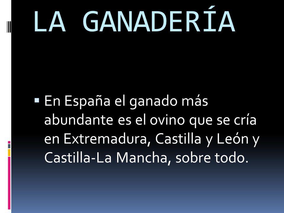 LA GANADERÍA  En España el ganado más abundante es el ovino que se cría en Extremadura, Castilla y León y Castilla-La Mancha, sobre todo.