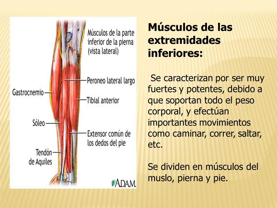 Fantástico Los Músculos De Las Extremidades Inferiores Anatomía ...