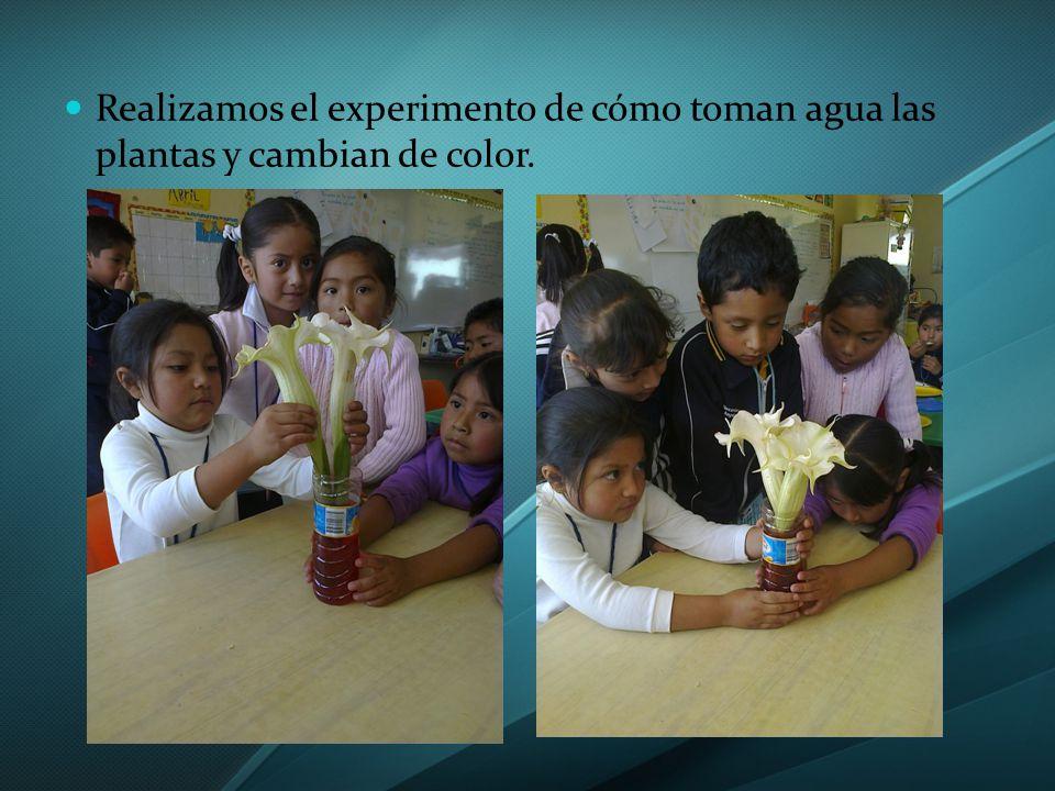 Realizamos el experimento de cómo toman agua las plantas y cambian de color.