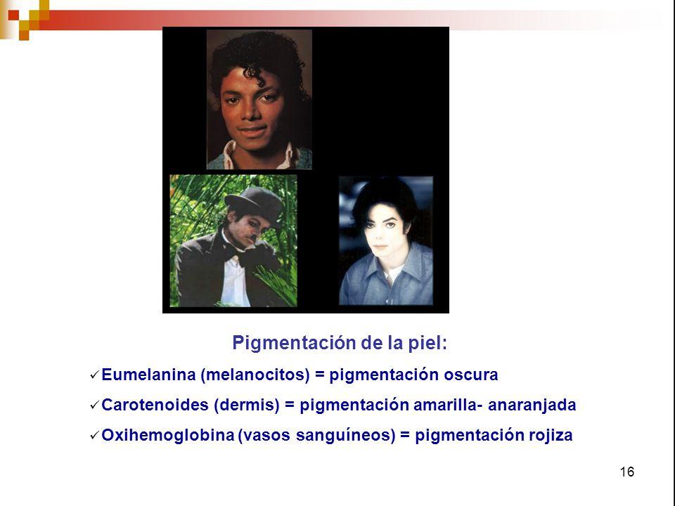 16 Pigmentación de la piel: Eumelanina (melanocitos) = pigmentación oscura Carotenoides (dermis) = pigmentación amarilla- anaranjada Oxihemoglobina (v