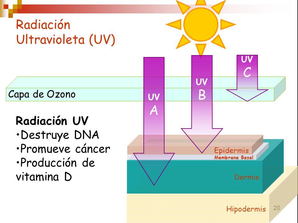 20 Hipodermis Radiación Ultravioleta (UV) Capa de Ozono UV C Dermis Membrana Basal Epidermis UV B UV A Radiación UV Destruye DNA Promueve cáncer Produ