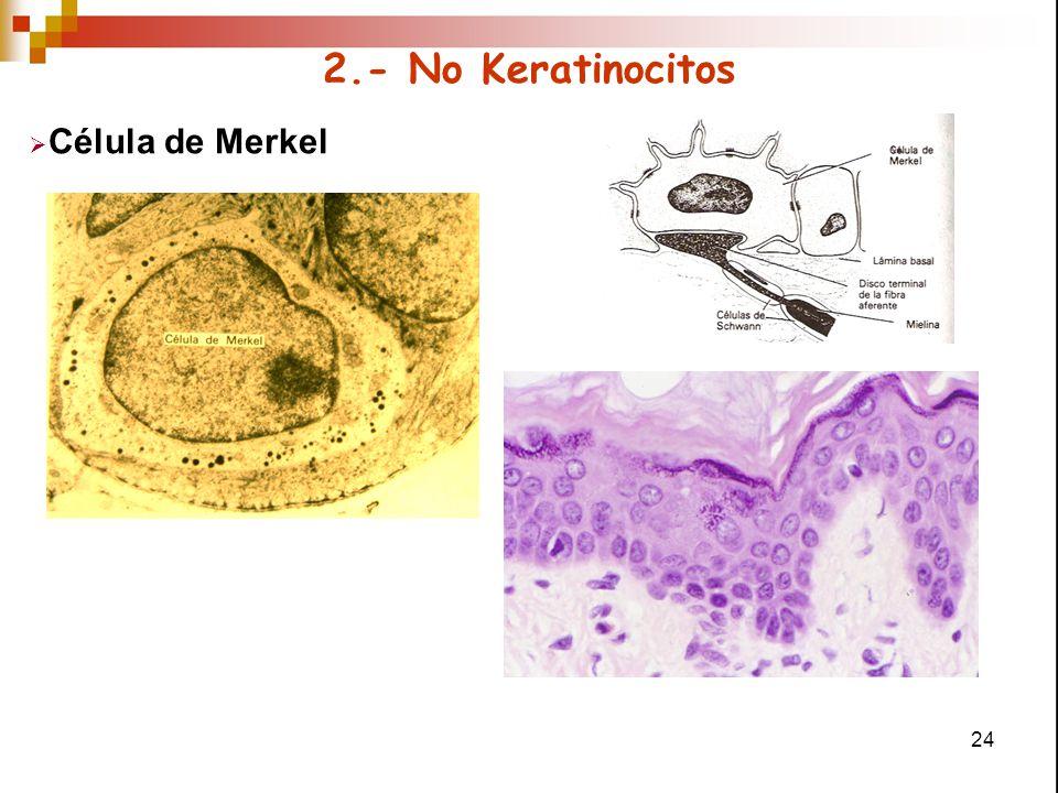 24 2.- No Keratinocitos  Célula de Merkel