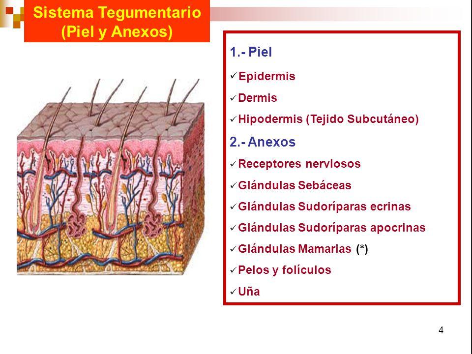 4 Sistema Tegumentario (Piel y Anexos) 1.- Piel Epidermis Dermis Hipodermis (Tejido Subcutáneo) 2.- Anexos Receptores nerviosos Glándulas Sebáceas Glá