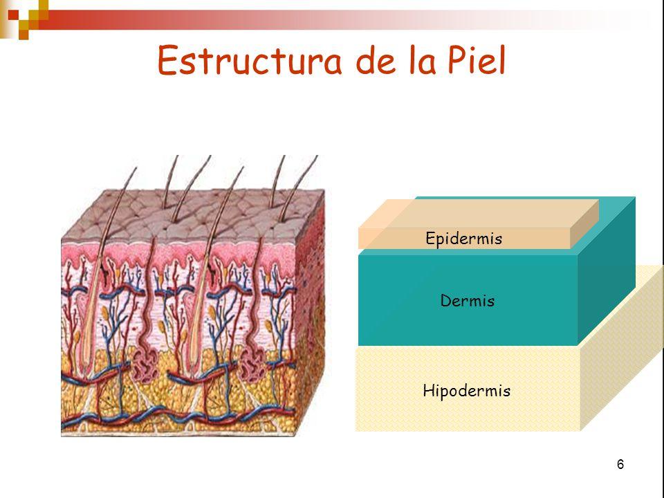 7 Hipodermis Dermis Unión Dermo-epidérmica Epidermis Epitelio de revestimiento Estratificado Escamoso keratinizado Membrana Basal Epidermis