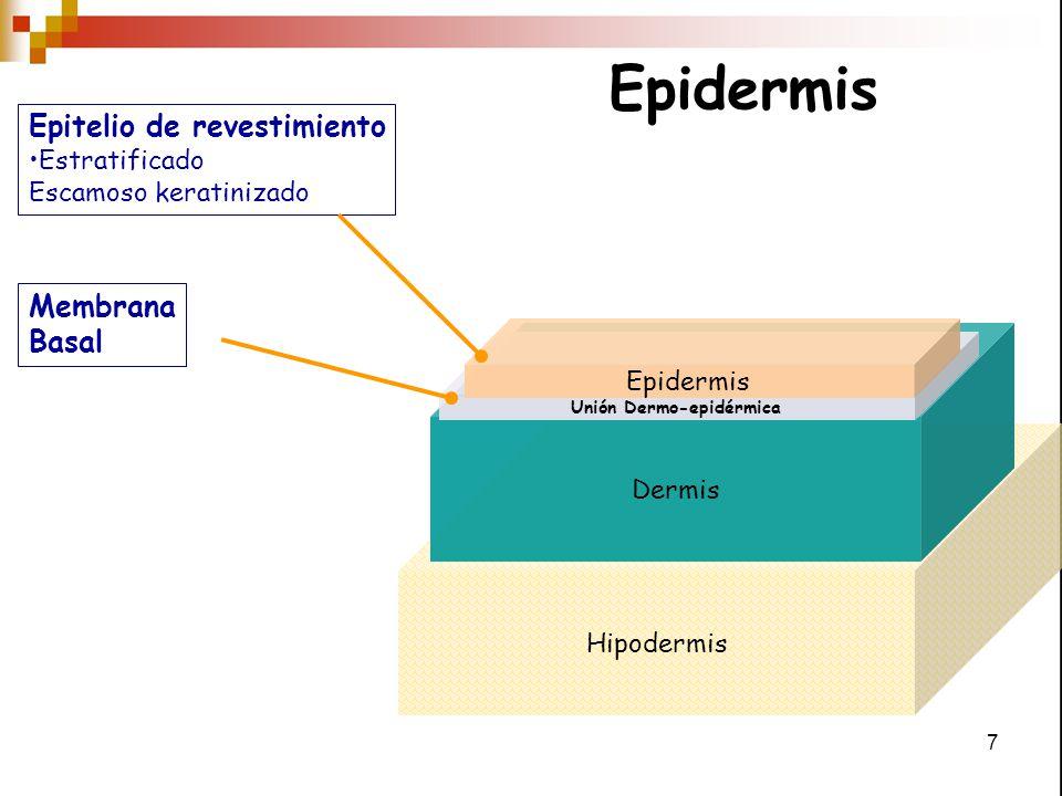 8 Epitelio de revestimiento Estratificado escamoso keratinizado Está constituida por 2 de poblaciones celulares: 1.- Keratinocitos o células formadoras de queratina 2.- No Keratinocitos