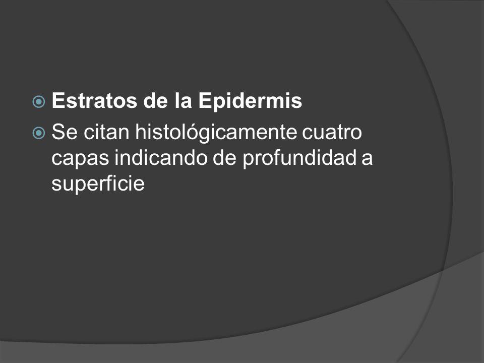  Estratos de la Epidermis  Se citan histológicamente cuatro capas indicando de profundidad a superficie