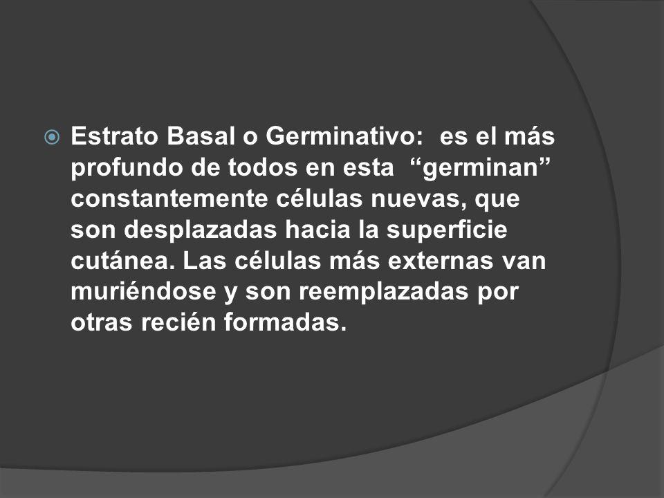 """ Estrato Basal o Germinativo: es el más profundo de todos en esta """"germinan"""" constantemente células nuevas, que son desplazadas hacia la superficie c"""