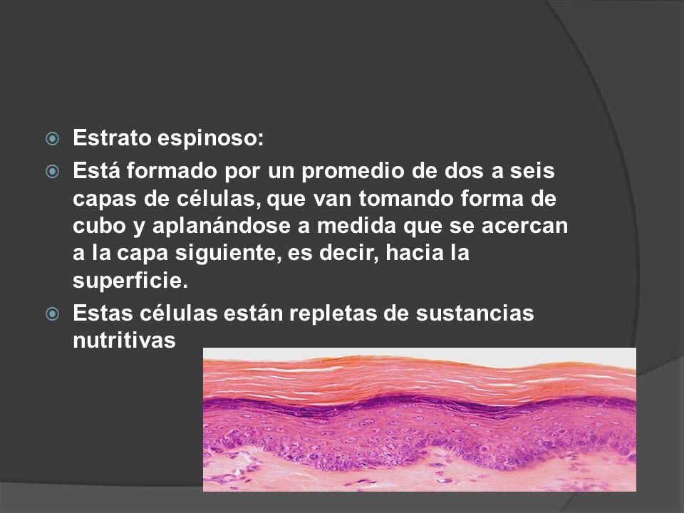  Estrato espinoso:  Está formado por un promedio de dos a seis capas de células, que van tomando forma de cubo y aplanándose a medida que se acercan a la capa siguiente, es decir, hacia la superficie.