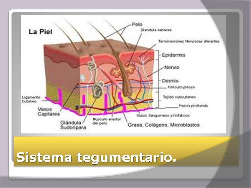  Esta integrado por piel  Órganos anexos:  Pelos  Uñas  Glándulas sudoríparas  Glándulas sebáceas