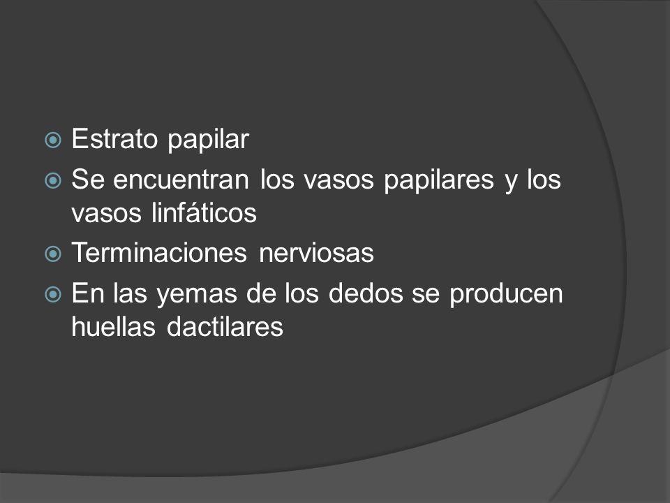  Estrato papilar  Se encuentran los vasos papilares y los vasos linfáticos  Terminaciones nerviosas  En las yemas de los dedos se producen huellas