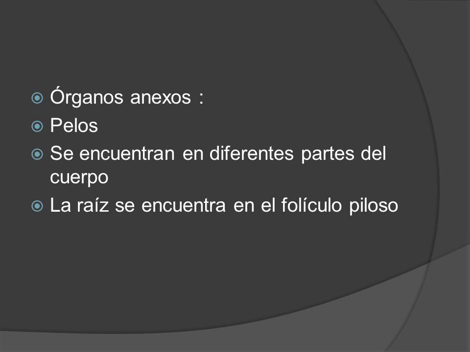  Órganos anexos :  Pelos  Se encuentran en diferentes partes del cuerpo  La raíz se encuentra en el folículo piloso