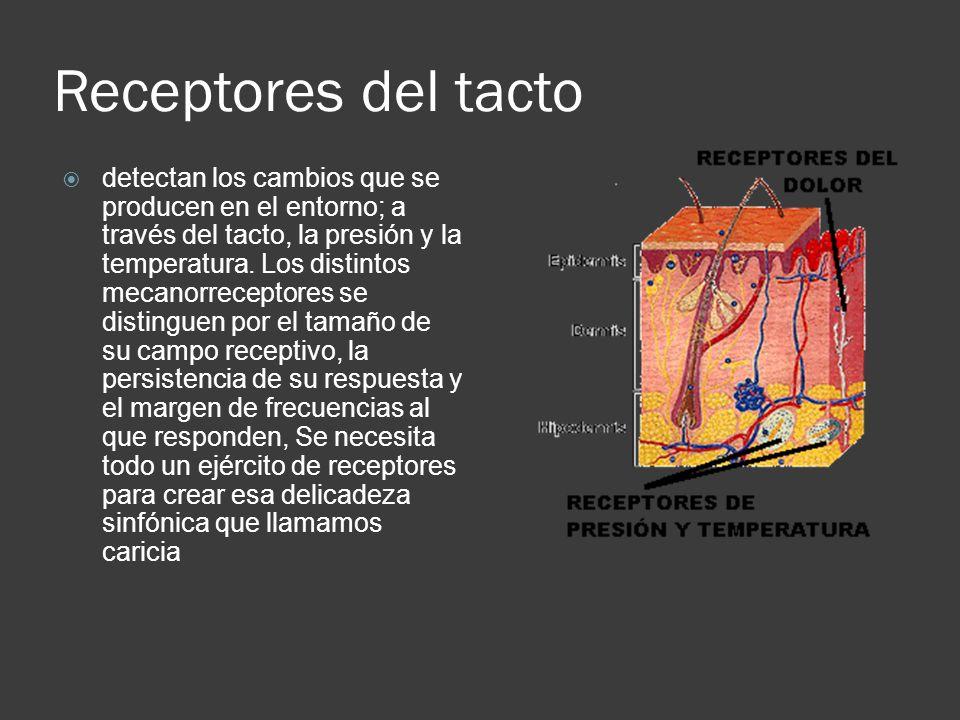 Receptores del tacto  detectan los cambios que se producen en el entorno; a través del tacto, la presión y la temperatura. Los distintos mecanorrecep