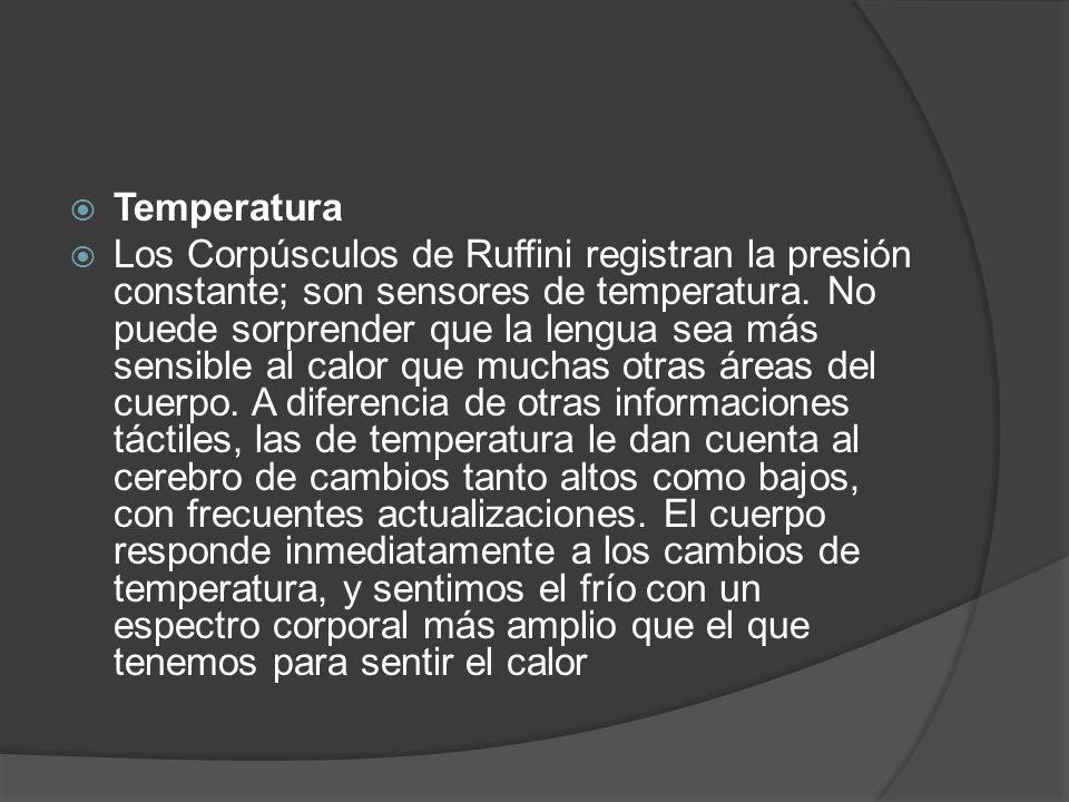  Temperatura  Los Corpúsculos de Ruffini registran la presión constante; son sensores de temperatura. No puede sorprender que la lengua sea más sens
