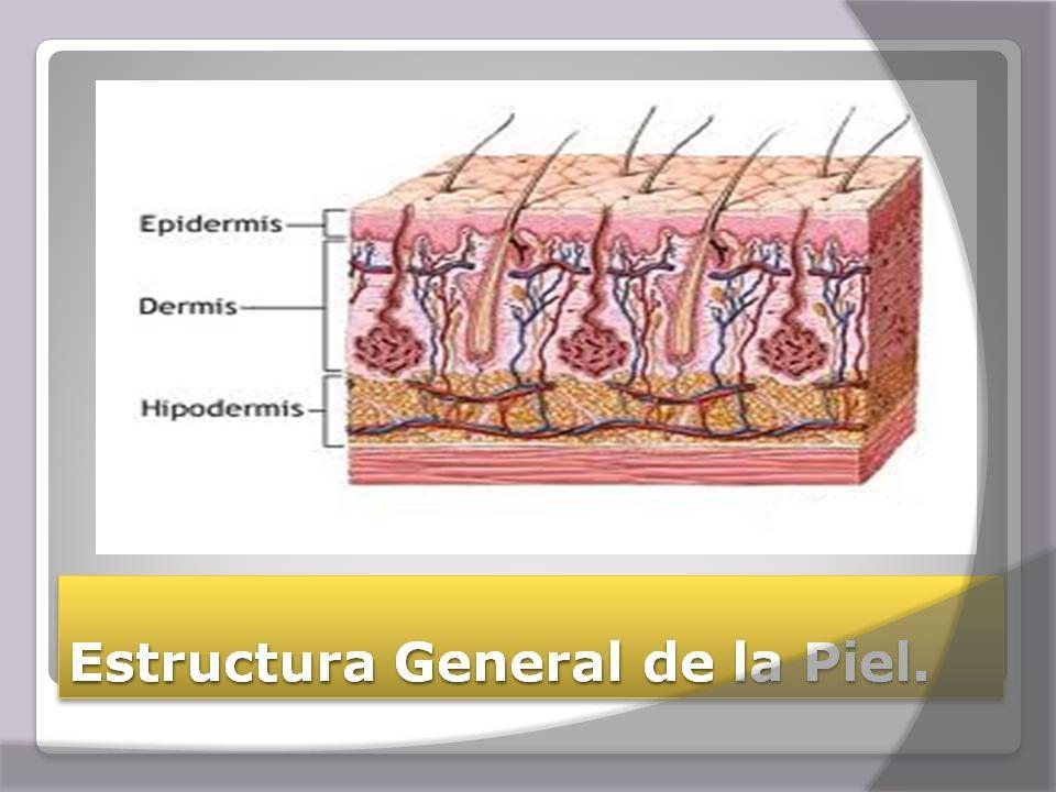  Epidermis: es la capa más superficial, la más delgada y muy celular.