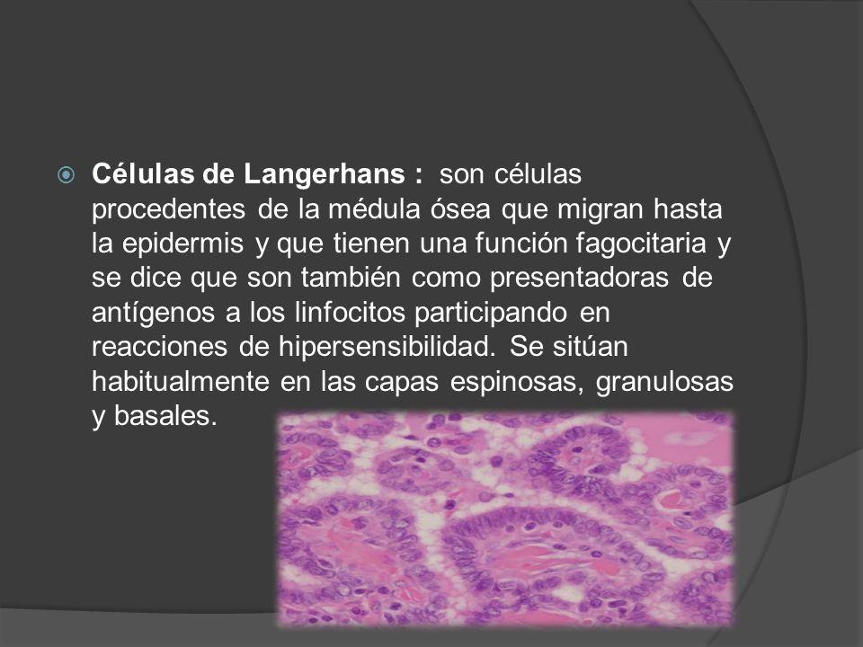  Células de Langerhans : son células procedentes de la médula ósea que migran hasta la epidermis y que tienen una función fagocitaria y se dice que s