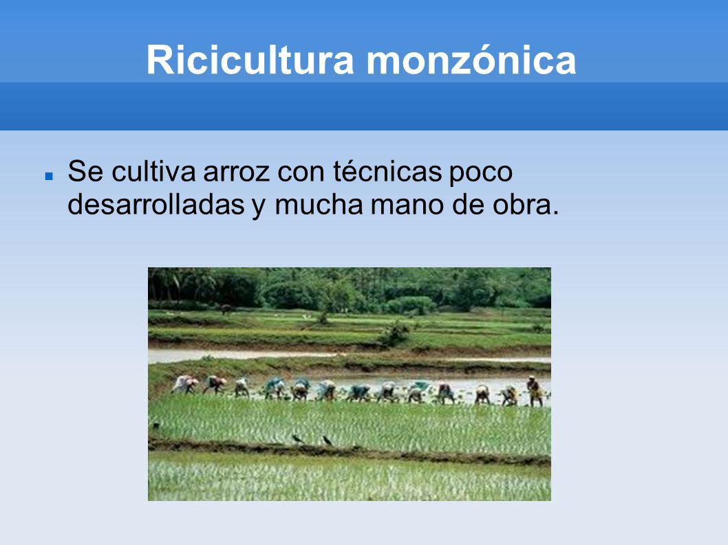 Ricicultura monzónica Se cultiva arroz con técnicas poco desarrolladas y mucha mano de obra.