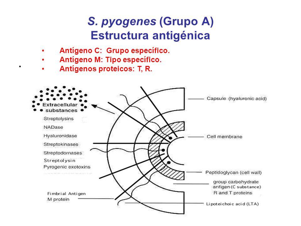 S. pyogenes (Grupo A) Estructura antigénica. Antígeno C: Grupo específico. Antígeno M: Tipo específico. Antígenos proteicos: T, R.