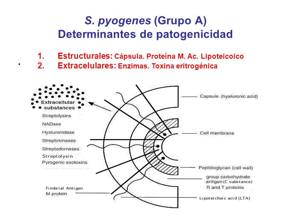 S. pyogenes (Grupo A) Determinantes de patogenicidad. 1.Estructurales: Cápsula. Proteína M. Ac. Lipoteicoico 2.Extracelulares: Enzimas. Toxina eritrog