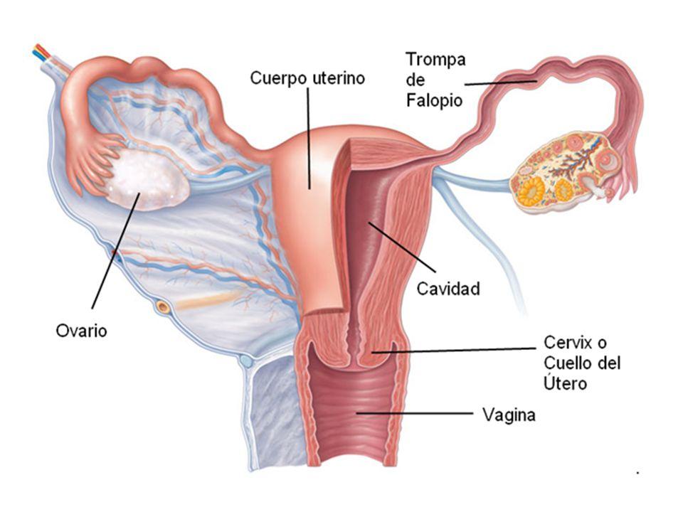 Vistoso Anatomía Del útero De Vídeo Ilustración - Imágenes de ...